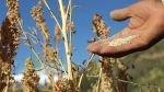 Precio actual de la quinua no permite que sea consumida por los más pobres - Noticias de quinua hambre mundial