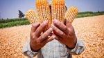 Hace 5.000 años ya se cultivaba y consumía maíz en Perú, confirman investigadores - Noticias de mazorca