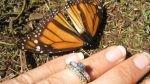 La migración de las mariposas monarca, un mágico atractivo turístico en México - Noticias de tala de árboles
