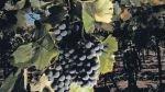 La Ruta del Pisco: un recorrido por viñedos y bodegas de Moquegua - Noticias de ruta del pisco