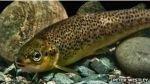 El salmón genéticamente modificado que podría acabar en tu plato - Noticias de alimentos transgenicos