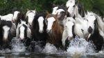 FOTOS: así se vive la Feria del Caballo de Appleby en el Reino Unido - Noticias de appleby