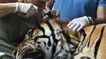 Zoológico israelí utiliza acupuntura en un tigre enfermo - Noticias de tigres de sumatra
