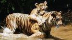 El virus de los perros que amenaza a los grandes felinos - Noticias de tigres de sumatra