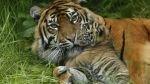 Zoológico inglés exhibe cachorros de tigre en peligro de extinción - Noticias de tigres de sumatra