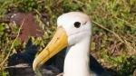 Científicos alientan repoblación de albatros en Galápagos - Noticias de especies endémicas