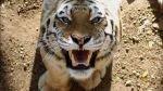 Cinco indonesios llevan tres días en un árbol para huir de tigres - Noticias de tigres de sumatra
