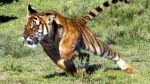 Indonesia: hombres que estuvieron cuatro días sobre un árbol para huir de tigres fueron rescatados - Noticias de tigres de sumatra