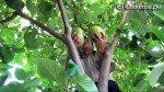 Callahuanca, el paraíso de las chirimoyas gigantes [VIDEO] - Noticias de rudy jordan espejo