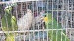 Piura: cientos de animales silvestres protegidos son vendidos ilegalmente - Noticias de kurt beer