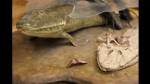 El animal que marcó la transición entre peces y seres con patas - Noticias de neil shubin