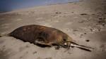 Litoral de Sechura es cementerio de más de 60 especies marinas - Noticias de lobos marinos