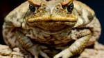 Perros en Australia son adictos a lamer un sapo tóxico peruano - Noticias de apareamiento