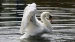Nueva York en guerra contra los cisnes - Noticias de david karopkin