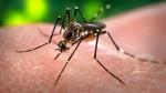 """El esperma de los mosquitos tiene """"sentido del olfato"""" - Noticias de apareamiento"""