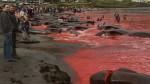 Dinamarca: Matan a ballenas y delfines en sangrienta tradición - Noticias de matanza de delfines