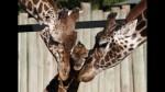 Zoológico danés mata jirafa bebé y se lo da de comer a leones - Noticias de tobias stenbaek bro