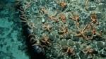 Siguen investigando extraña muerte de estrellas de mar - Noticias de pete raimondi