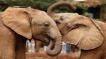 Los elefantes asiáticos se consuelan cuando están angustiados - Noticias de frans de waal