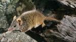 Descubren un marsupial con un frenético hábito reproductivo - Noticias de apareamiento