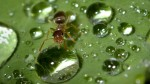 Hormigas usan sus cuerpos como balsas para salvar a la reina - Noticias de jessica purcell