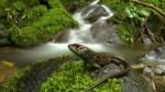 Manu: encuentran nueva especie de lagartija en zona reservada - Noticias de reservas naturales del manú