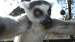 Ahora un lemur se tomó un selfie - Noticias de mike hopkins