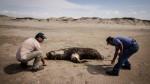 Pescadores denuncian problemas ambientales por delfines muertos - Noticias de delfines muertos