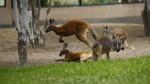 Parque de las Leyendas: canguros rojos deleitan a visitantes - Noticias de yako
