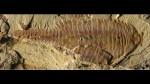 Hallan fósil similar a un camarón de hace 520 millones de años - Noticias de medusas