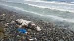 Miraflores: lobo de mar muerto fue hallado en la Costa verde - Noticias de lobos marinos