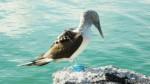 ¿Por qué no se reproducen los piqueros patiazules de Galápagos? - Noticias de kate barry