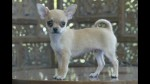 Irá un año a la cárcel por atacar a un chihuahua - Noticias de perros calientes