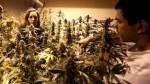 Uruguay: se podrá comprar 10 gramos semanales de marihuana - Noticias de junta nacional de drogas