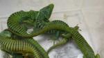 Mexicano con maleta llena de reptiles fue detenido en Alemania - Noticias de incautaciones