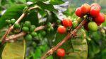 Se renovaron 15 mil hectáreas de café en la selva peruana - Noticias de minag